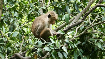 Monkey macaque sitting on tree in Sri Lanka 4k