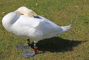 fearful Swan hides the head between the white feathers