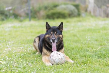 Perro con pelota.