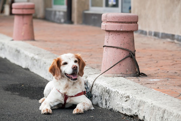 Domestic dog  tied to a street bollard waiting for the owner