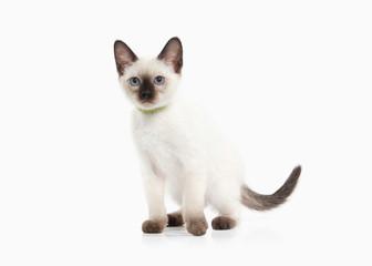 Cat. Thai kitten on white background