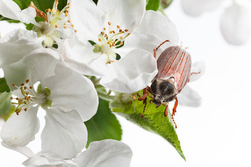 beetle in orchard