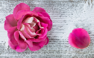 pink rose on white wooden background