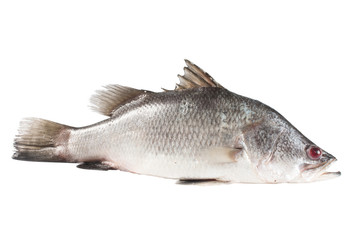 Snapper isolate on white
