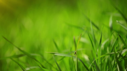 Fresh Green Spring Grass Lawn in Morning Close up