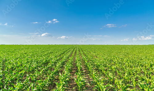 Growing corn field, green agricultural landscape - 81611065