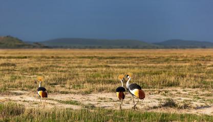 Grey Crowned Crane in the savannah of Masai Mara