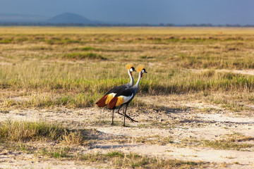 Grey Crowned Crane in the savannah of Masai Mara
