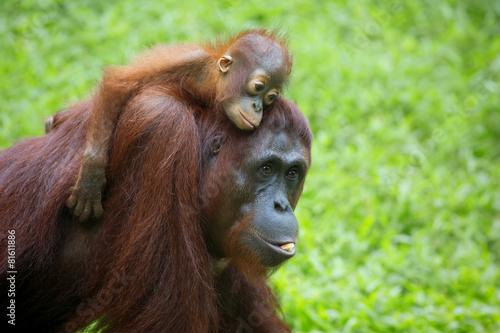 Foto op Canvas Aap Borneo Orangutan