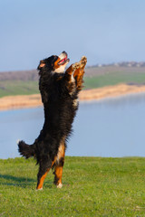 Beautiful bernese dog jump against blue river in the meadow