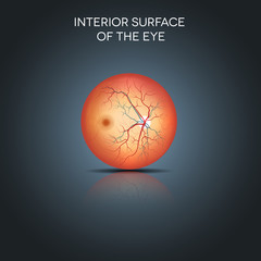 Anatomy of the interior surface of the eye