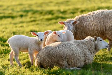 agneaux et brebis