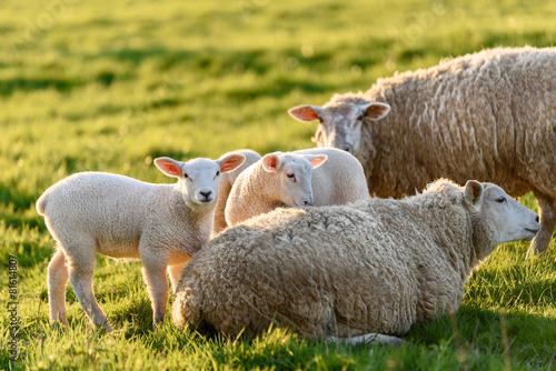 Fotobehang Schapen agneaux et brebis