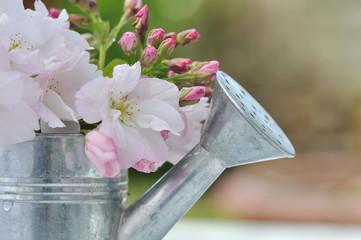 fleurs de cerisier dans petit arrosoir