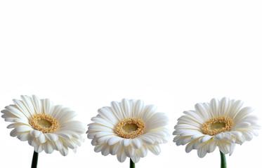 White daisies border