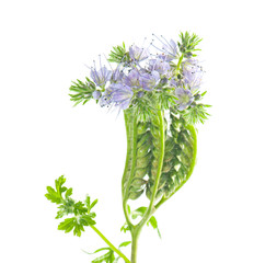 Phacelia flowers and leaves on a white background.