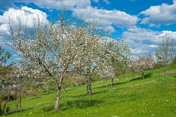 Kirschbaumblüte, Altensteig