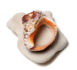 Broken shell from rapana venosa on stone
