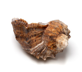 Shell from rapana venosa on white background.