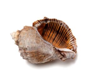 Empty shell from rapana venosa