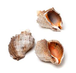 Three shells from rapana venosa