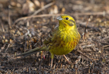 Yellowhammer on the ground