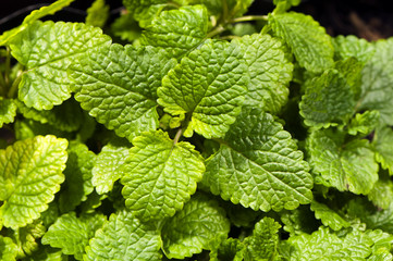 Lemon balm, also known as balm or balm mint