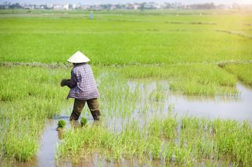Farmers working in rice field in Vietnam