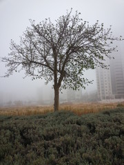 Lonley tree in the fog
