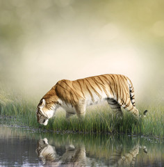 Tiger Near Pond