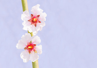 Two spring almond flowers on branch background
