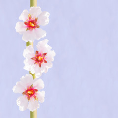 Three spring almond flowers branch on sky background