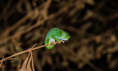 Petter's Chameleon in Amber Mountain National Park Madagascar