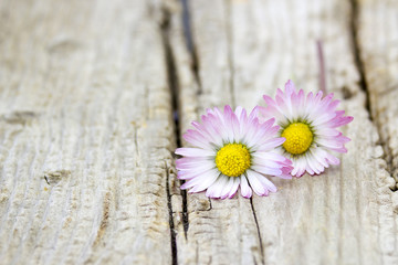 two daisies on wooden background