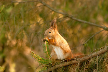 squirrel chewing on a spruce branch