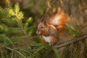 squirrel on a spruce branch