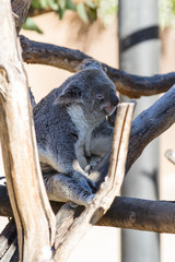 Koala - phascolarctos cinereus