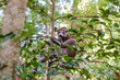 Common brown lemur in Ankarana Park Madagascar