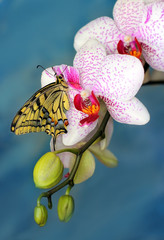 swallowtail butterfly and flower orchid