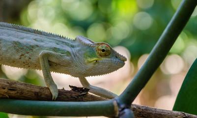 Chameleon in Antsiranana Province Madagascar