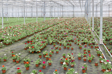 Greenhouse with cultivation of flower Buttercups