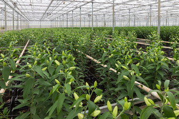 Greenhouse with cultivation of lily flowers