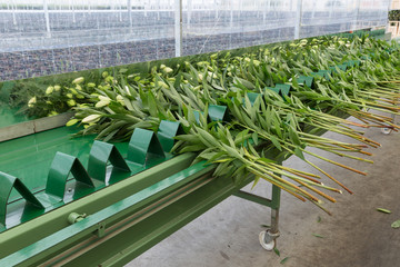 Conveyer belt in greenhouse for transporting picked lilys