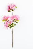 Pink flowering azalea branch