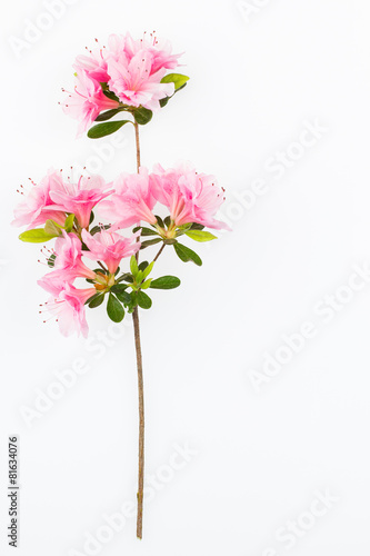 Foto op Canvas Azalea Pink flowering azalea branch