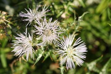Fiori selvatici di pianta spinosa