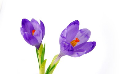 Two timelapse blooming crocuses on white background
