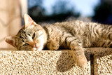 Tabby cat trying to sleep on the wall, sunbathing. - 81638246