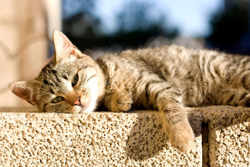Tabby cat trying to sleep on the wall, sunbathing.