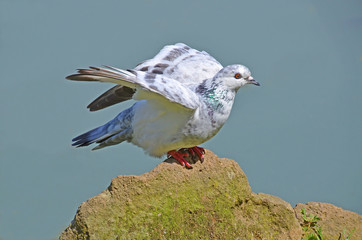 white pigeon that takes flight